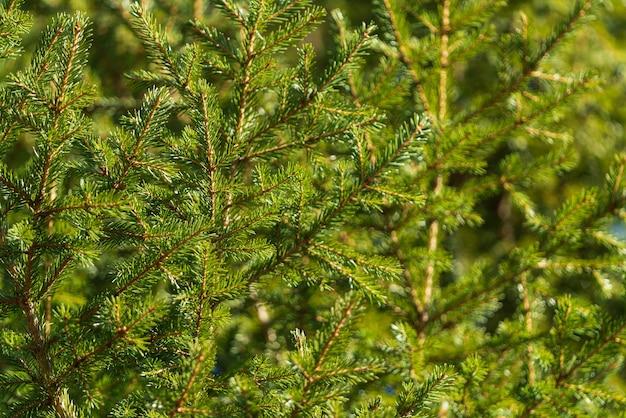 Natürliche immergrüne zweige mit nadeln des weihnachtsbaums im kiefernwald. nahaufnahme des feiertags-tannenzweiges musterhintergrund für festliche winterdekoration für weihnachten und guten rutsch ins neue jahr.