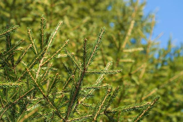Natürliche immergrüne zweige mit nadeln des weihnachtsbaums im kiefernwald. nahaufnahme von tannenzweigen, die für die festliche dekoration für ein frohes neues jahr, weihnachten bereit sind