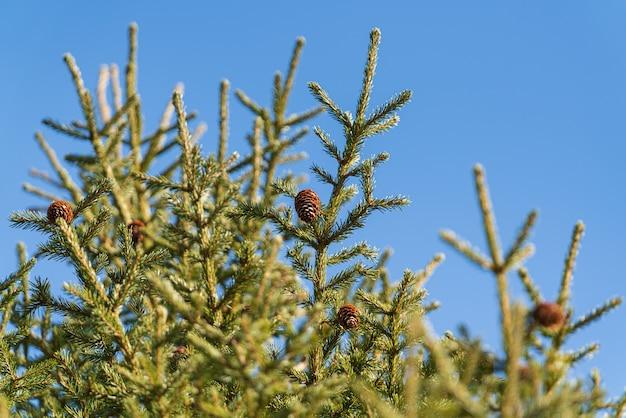 Natürliche immergrüne zweige mit zapfen des weihnachtsbaums im kiefernwald. schöne tannenzweige bereit für festliche verzierung für ein frohes neues jahr, weihnachtsferien