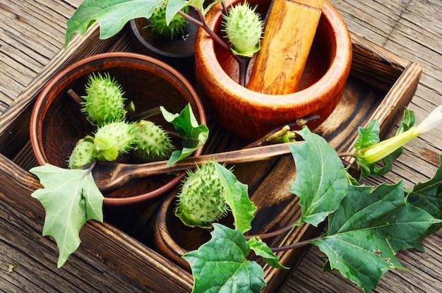 Natürliche kräutermedizin, stechapfel