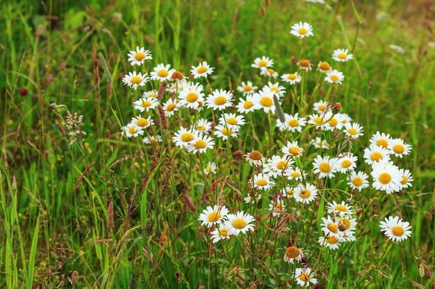 Natürliche landschaft. blühende gänseblümchen auf einem gebiet im grünen gras.