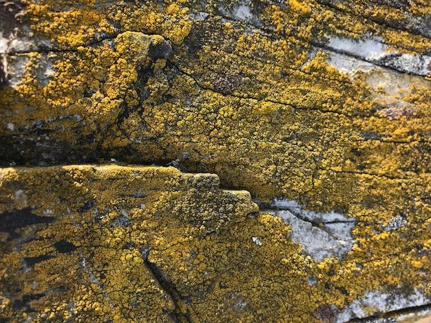 Natürliche moosflechte auf gealtertem hölzernem beschaffenheitsoberflächenhintergrund