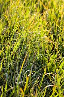 Natürliche natur mit grünem gras, nahaufnahme von echten lebenden pflanzen auf dem boden in einer wiese