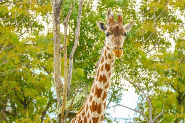 Natürliche reizende hohe giraffe im grünen park im freien.