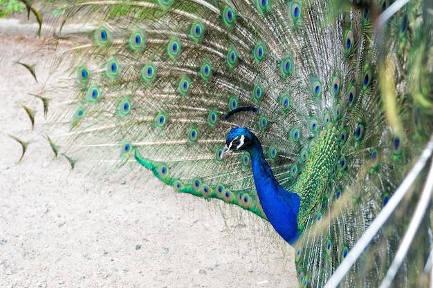 Natürliche schönheit. pfauenvogel. zoo-konzept. pfau im naturhintergrund der natürlichen umwelt. männlicher pfau mit bunten blaugrünen federn, die in der balz erhöht sind, starrt geradeaus.
