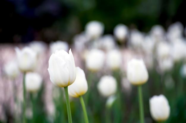 Natürliche stadtlandschaft. weiße tulpenblumen auf einem blumenbeet im stadtpark.