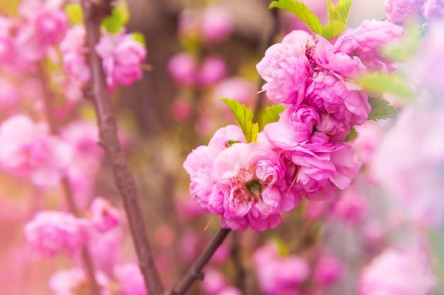 Natürliche textur von blühenden bäumen. blütenbäume nahaufnahme als ort für text. grußkartenhintergrund von rosa sakura-blumen und kopienraum.