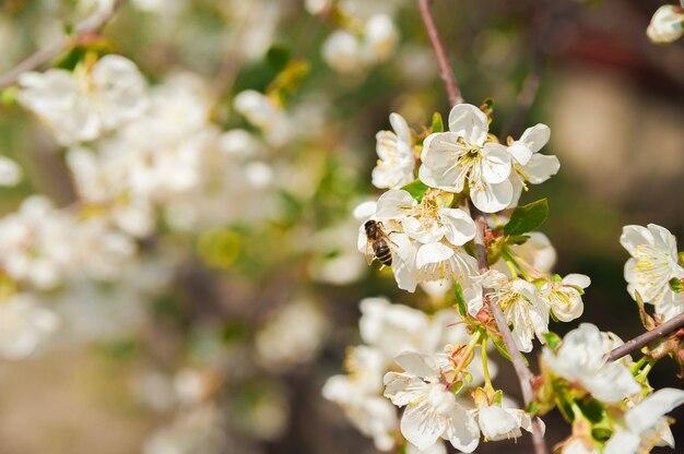 Natürliche textur von blühenden bäumen. grußkartenhintergrund der weißen blumen und des kopierraums.