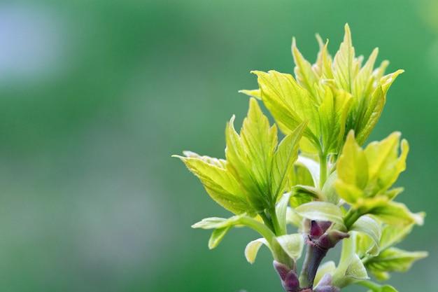 Natürliche umwelt unscharfer hintergrund. frischer grüner baum verlässt im vorfrühling.