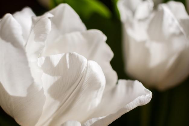 Natürliche weiße tulpennahaufnahme.