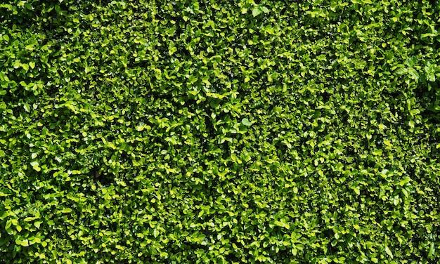 Natürlicher abstrakter hintergrund der grünen blattwand