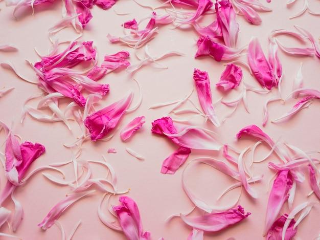 Natürlicher blumenhintergrund aus einem blütenblatt der rosa pfingstrose auf einem rosa zarten hintergrund. flacher stil, ansicht von oben.