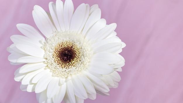 Natürlicher blumiger hintergrund mit schönem weißem gerberablumenabschluß oben. leichte blumenblätter auf rosa hintergrund mit kopienraum. banner für web-site über natur- oder umweltbilder.