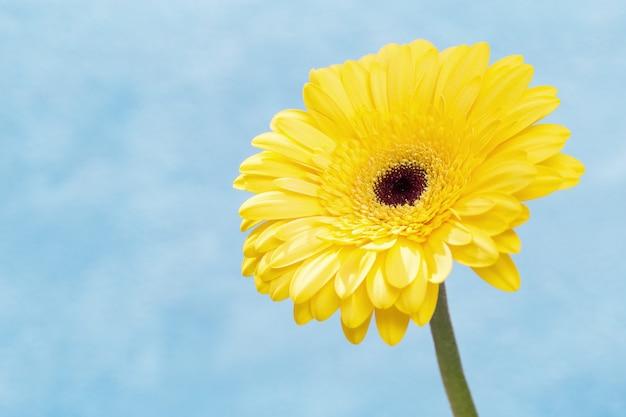 Natürlicher blumiger hintergrund mit schöner gelber gerberablume nah oben. sanfte blütenblätter auf blauem hintergrund mit kopierraum. banner für websate über natur- oder umweltbild.