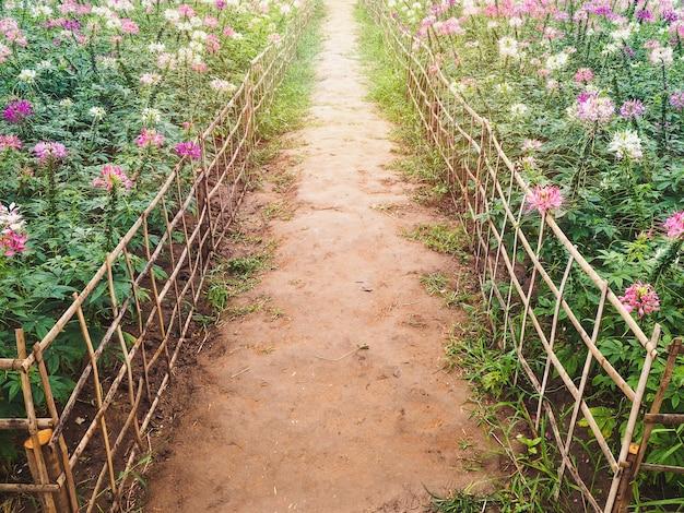 Natürlicher fußweg und bambuszaun mit cleome spinosa blumen.