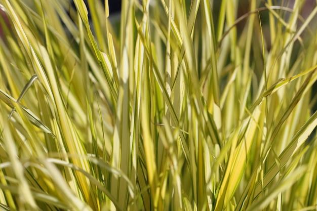 Natürlicher gelbgrüner grashintergrund von hakonecloa major lat hakonecloa macra munro makina
