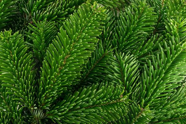 Natürlicher grüner fichtenzweig auf weißem hintergrund. üppige tannenzweige oder tannenzweigzweigbeschaffenheit draufsicht