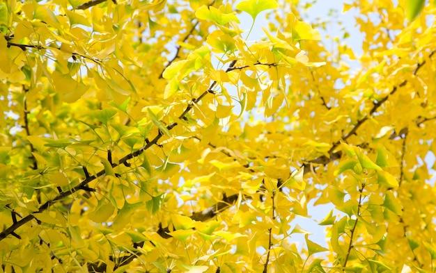 Natürlicher herbst des gelben dingobaumlaubs