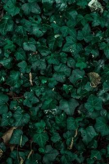 Natürlicher hintergrund der grünen efeuwand