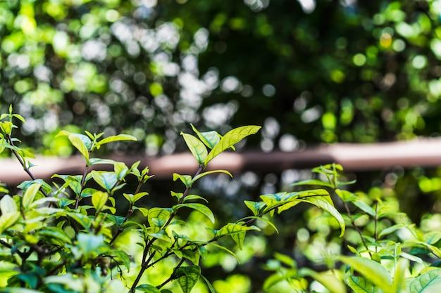 Natürlicher hintergrund der hellgrünen unscharfen abstrakten art