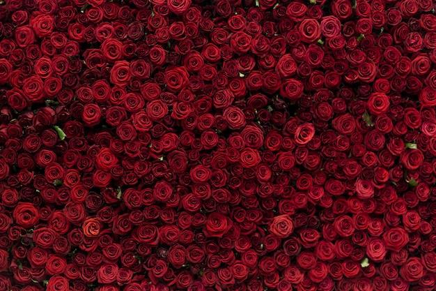 Natürlicher hintergrund der roten rosen, blumenwand. rosen als hintergrundbild.