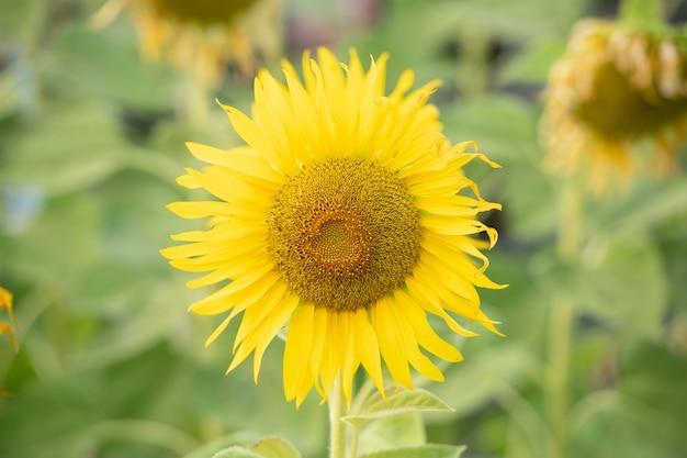 Natürlicher hintergrund der sonnenblume. sonnenblume blüht. pflanze wächst unter anderen sonnenblumen auf.