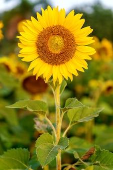 Natürlicher hintergrund der sonnenblume, sonnenblume, die im frühling blüht.