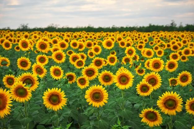Natürlicher hintergrund der sonnenblume. sonnenblumen blühen am bewölkten tag. nahaufnahme von pflanzen.
