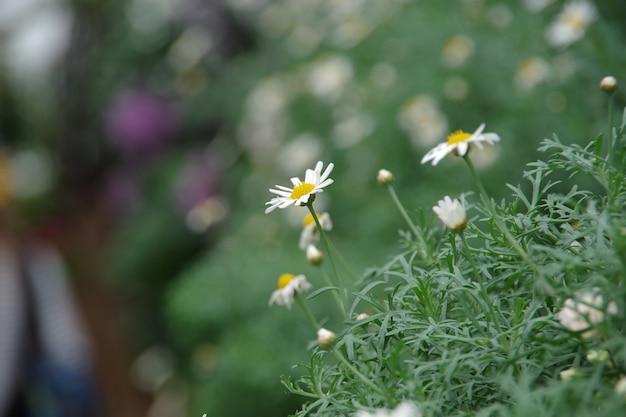 Natürlicher hintergrund des gänseblümchenblume feldes verwischt und weicher fokus