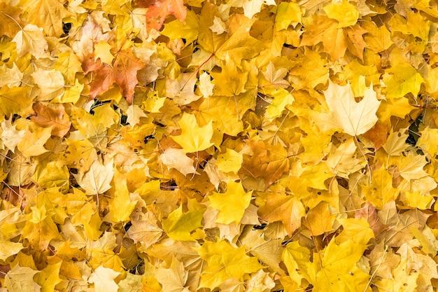 Natürlicher hintergrund des herbstes mit hellen ahornblättern