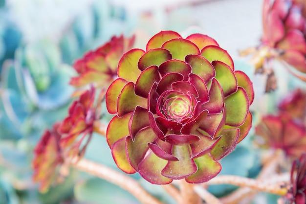 Natürlicher hintergrund mit grünem pflanzenkaktus schließen oben. schöner kaktus wie eine blume.