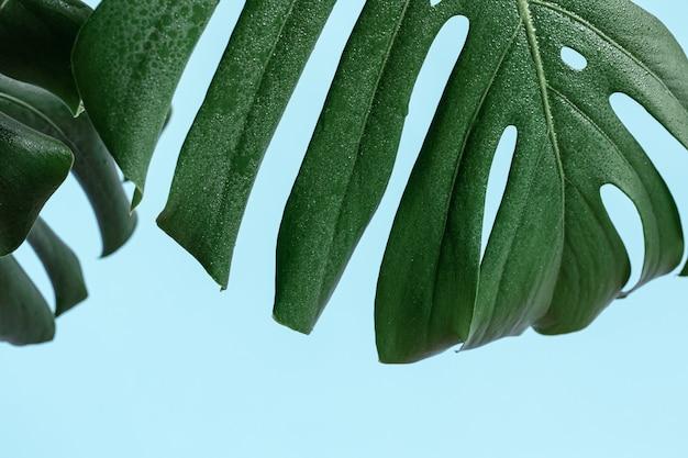 Natürlicher hintergrund mit tropischem monstera-blattabschluß oben.
