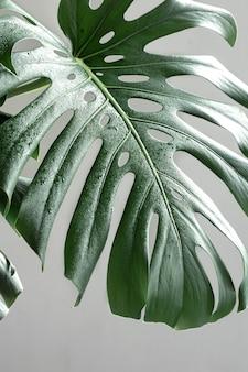 Natürlicher hintergrund mit tropischen monstera-blättern bei tageslicht.