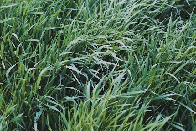 Natürlicher hintergrund. weizenfeld im zeitigen frühjahr. erste triebe wintergetreide