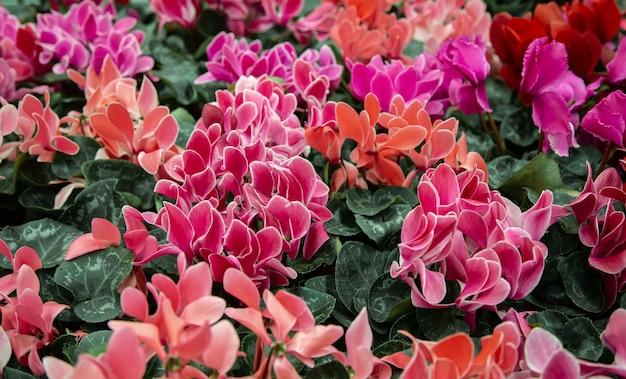 Natürlicher schöner hintergrund mit vielen alpenveilchen. das konzept eines natürlichen pflanzenhintergrunds. alpenveilchen in einem topf, blühend mit bunten großen blumen.