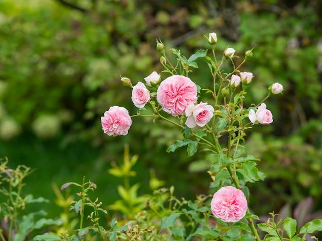 Natürlicher sommerhintergrund mit david austin-rosapfingstrosenrosen. schöne blühende blumen auf grünem blatthintergrund.
