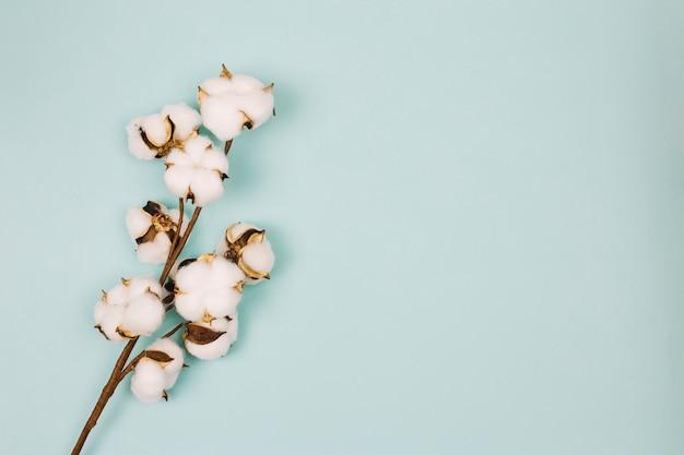 Natürlicher stamm von baumwollblumen gegen farbigen hintergrund