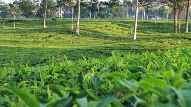 Natürlicher teegarten
