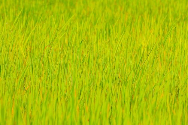 Natürliches grünes reisfeld