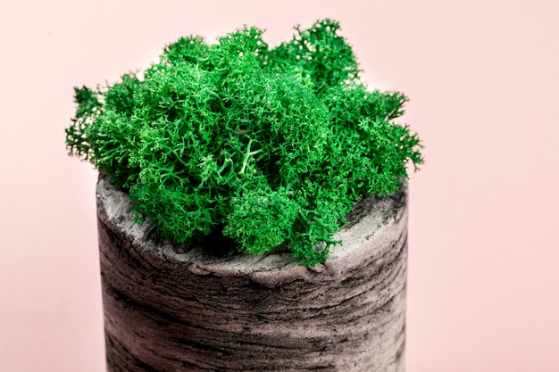Natürliches moos stabilisiert grün. blume im topf.