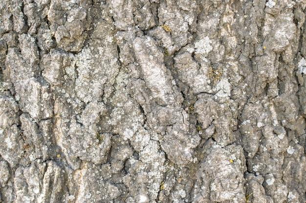 Natürliches relief und raue rindenstruktur der alten birke im abendlicht