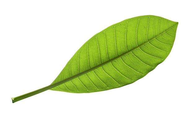 Natürliches tropisches grünes blatt lokalisiert auf whit3