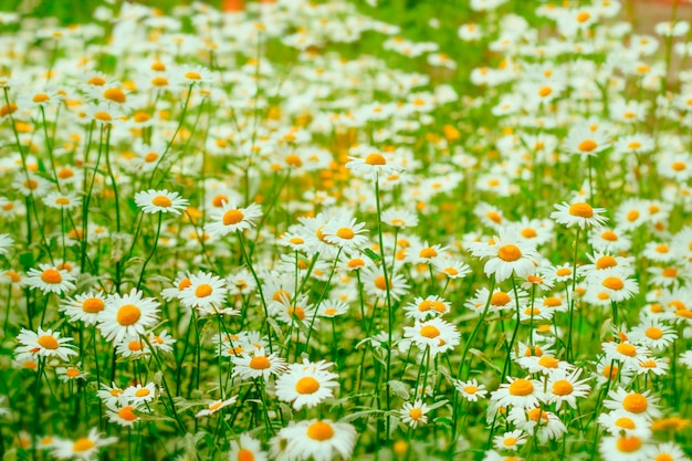 Natürliches unscharfes abstraktes kamillenblumenfeld