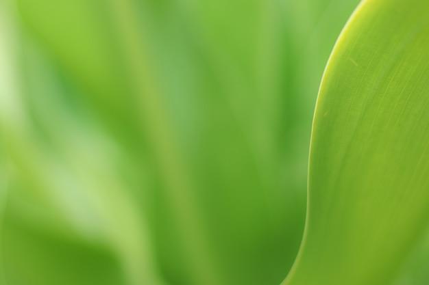 Natur des grünen blattes im garten im sommer. natürliches grün lässt pflanzen als frühlingshintergrund verwenden. frisches tapetenkonzept.