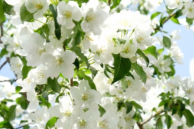 Natur im frühling. apfelbaum in voller blüte.