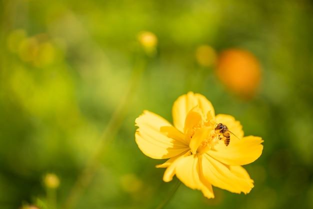 Naturansicht der honigbiene auf gelber blume mit grünem unscharfem hintergrund der natur im garten mit kopienraum, der als hintergrundinsekt, natürliche landschaft, ökologie, frisches tapetenseitenkonzept verwendet.