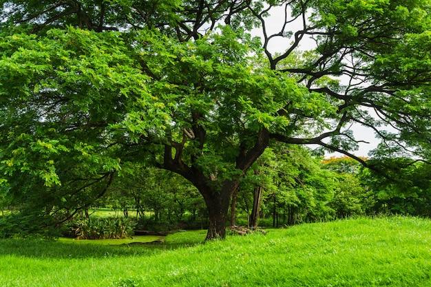Naturansicht von einem großen regenbaum auf wiese mit naturhintergrund.