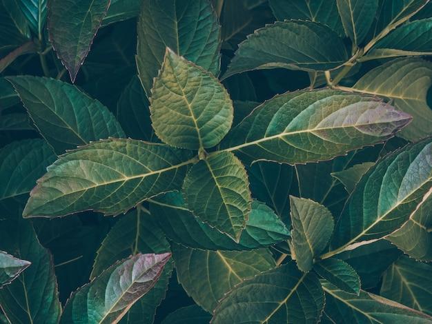 Naturdekor zur präsentation von kosmetika oder tapeten. dunkelgrüne laubnahaufnahme. smaragd verlässt textur. eine vielseitige natürliche hintergrundvorlage für eine vielzahl kreativer anwendungen. ökologiekonzept.