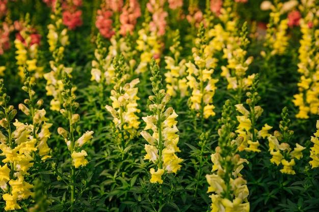 Naturhintergrund des gelben blumenantirrhinums majus