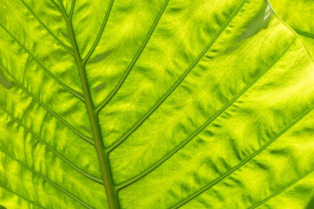 Naturhintergrund des grünen alocasia-odora-blattes im freien